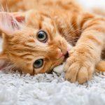 los gatos animales wikipedia , gatos persas en vizcaya