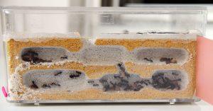 mascotas exóticas hormigas