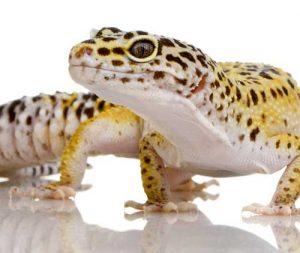 mascotas exóticas Gecko leopardo
