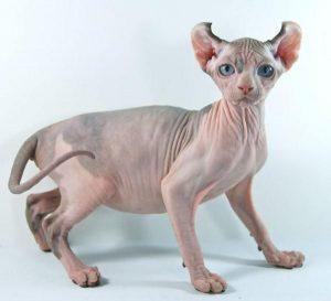 cachorros sphynx , gatos canadienses , mujer gato , alergia pelo gato , gato egipcio bebe , comprar un gato esfinge , cortes de pelo segun la cara , venta de gatos egipcios gratis , gato de 1 mes , gatos sphynx tatuados , edad gatos , gatos pelones precio , cuanto cuesta un gato egipcio , gato bosque de noruega , gato sin pelo mexicano , gatos egipcios gratis , gato persa para monta , gato esfinge canadiense , raza de perro sin pelo , sphynx comprar , precio de un gato sphynx , gato bandido , gatos en madera , gato lampiño precio , mil gatos ,