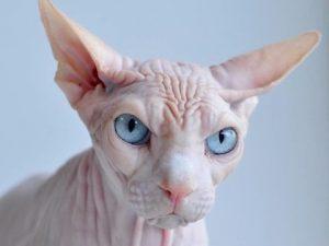 los gatos en egipto , venta de perros sin pelo , perro egipcio sin pelo , gatos egipcios nombres , gato con pelo rizado , raza de gato egipcio , gato sin pelo tatuado , gato elfo precio , pelo gato persa , gato pierde pelo , como se llama el gato sin pelo , como evitar la caida del pelo del gato , el gato sin pelo , gato egipcio valor , perros que pierden poco pelo , donde puedo comprar un gato egipcio , el gato esfinge , precio gato ocicat , gato cornish rex , razas de gatos pelo corto , gatos pelados egipcios , perros que tiran poco pelo , gato arrugado , mi gato pierde pelo por zonas , como se llama la raza de gatos sin pelo