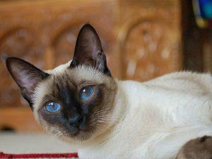 caracteristicas de los gatos siameses , gatos persas cruzados , gatos siames gratis , siames chocolate point , gato siames enfermedades , gato siames de pelo largo , variedades gatos siameses , siames cruzado , clases de gatos siameses , siames tabby point caracteristicas , gatos siameses valor , gatos de gatos , gatos siameses con angora , gatos thai siames , el gato angora , que es un gato siames , cuanto cuesta un gato siames en mexico , gato siames malaga , gata siamesa fotos , que comen los gatos siameses , persa con siames , gato siames milanuncios , gato persa pequeño , como se forman los siameses , gato ragdoll caracter , gato siames blue point caracteristicas , gato siames dibujo , gato persa tipos , animais gatos