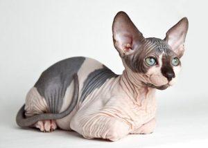como se llaman los gatos sin pelo , comprar gato sin pelo , cuantas razas de gatos hay , don pelo , don sphynx , el gato mas feo del mundo , fotos de calvos feos , fotos de gatos egipcios , fotos de gatos feos , fotos de gatos sin pelo , fotos gatos egipcios , gatitos feos , gatitos sin pelo , gato american curl , gato bambino precio , gato canadiense , gato chino raza , gato chino sin pelo , gato don sphynx , gato egipcio con pelo , gato egipcio sin pelo , gato elfo , gato en arabe ,