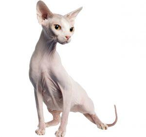 gato himalayo , gatitos , gato ocicat , gato gordo , perro sin pelo , gata salvaje , tipos de gatos , gatos , gato sin pelo sphynx , gato negro , regalo gato sphynx , gato birmano , gatos graciosos , apareamiento de gatos , gatos calvos raza , gato sfinks , gato britanico , gato sphynx caracter , cuanto vale un gato sin pelo , gato garfield , gato montes , gatito , gato romano , gata peluda , gato sphynx cuidados , cuanto cuesta un gato sin pelo , gato razas , gato feliz