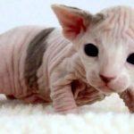 imagenes de perros sin pelo , como se llama el gato que no tiene pelo , gato egipcio azul , gatos egipcios precio españa