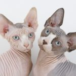 gatos sin pelo shynx,gatos tatuados,gatos bebes,gato kohana,gato ucraniano,gato elfo,gato bambino,gato don sphynx,gato don sphynx,gato sin pelo sphynx,gato sin pelo,gatos sin pelo,gatos calvos,gatos calvos,gatos calvos,gato esfinge,gato esfinge,gatos sin pelo raza,gato sin pelo nombre