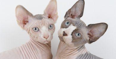 gato sin pelo , gato esfinge , gato calvo , gato sin pelo precio , gato esfinge precio , gato sin pelo raza , raza de gatos sin pelo , gato sphynx comprar , gato sphynx precio , gato egipcio con pelo , gato sin pelo bebe , sphynx precio , gato esfinge negro , gatos sphynx en adopcion , gato sphynx negro , gatos sphynx baratos , gato esfinge comprar , gato egipcio sin pelo , fotos de gatos sin pelo , gato esfinge protectora , gato sin pelo nombre , gato esfinge tatuado , comprar gato sin pelo , gatos que no tienen pelo , gato esfinge adopcion , gato sphynx venta , venta gato esfinge , venta de gatos sphynx , gato don sphynx , gato sphynx caracter