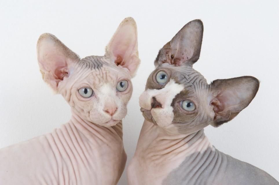 gato sin pelo argentina , gato calvo cual es el nombre