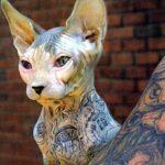 gato mucho pelo , gato peruano sin pelo precio , sphynx precio españa