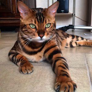 mascota exótica gato bengala