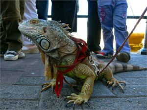 mascota exótica iguana