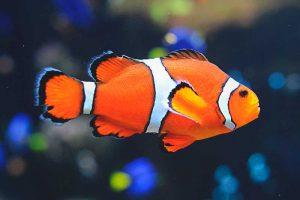 mascota exótica pez payaso