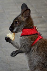 mascotas exóticas wallabies