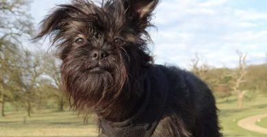 ridgeback tailandés , fotos de perritos monos , grifon belga , raza schnauzer miniatura , cortes de pelo para schnauzer , doge raza , cariñosa , razas de perros pequeños , razas de perros raras , corte de schnauzer , cual es la raza de perro mas grande , cortes para schnauzer , perros pequeños que no sueltan pelo , pincher arlequin , akita inu mini , perro mexicano sin pelo , mono y perro , pinscher miniatura caracteristicas , los perros mas raros del mundo , schnauzer con cola , las razas de perros mas bonitas , perro belga , terrier ruso negro , la raza de perro mas pequeña , perro peruano con pelo , pastor del caucaso gigante