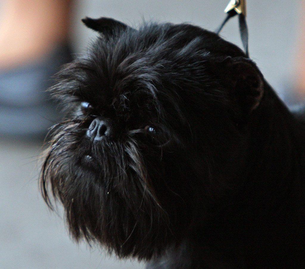 perros mas raros del mundo , la raza de perro mas cara del mundo , clases de terrier , schnauzer club argentino , griffon belga , las 10 razas de perros mas inteligentes , el pelo mas feo del mundo , razas de perros bonitos , raza de perro sin pelo , pinscher mediano caracteristicas , mastin tibetano peru , affenpinscher comprar , razas de perros y sus caracteristicas , los perros mas cariñosos , corte schnauzer , que raza es doge , affenpinscher criadero , raza puli , moños para perros pelo corto , raza de perro mas cara del mundo , razas de perros cariñosos , perro despeinado , griffon perro , perros ratoneros pequeños