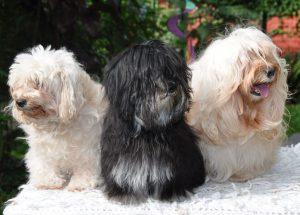 bichón habanero,bichon habanero bichón habanero perro bichon habanero bichon habanero negro bichon habanero toy perro habanero bichon bichon habanero negro bichon habanero cachorro