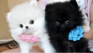 raza de perro lulu de pomerania , costo de cachorro pomerania , pomerania lulu cara de oso , lulu pomerania miniatura , pomerania boo toy , donde venden perros boo , lulu de pomerania mini blanco , pomerania madrid , venta de pomerania boo , pomerania boo cachorro , pomerania blanco miniatura adulto , criadero de perros boo , perros lulu pomerania toy , cachorros pomerania cara de oso en venta , criaderos de bichon maltes toy , cria pomerania , raza pomerania lulu , pomerania lulu cachorro , precio micro pomeranian , pomerania toy boo , comprar lulu de pomerania blanco , pomerania blanco bebe venta , perros raza pomerania fotos , mini toy pomeranian precio , cachorros de pomerania mini , criadero de pomerania miniatura , toy yorkie , fotos perros pomerania miniatura , los perros pomerania , perro lulu de pomerania precio , raza lulu pomerania , venta de pomerania enano , cuanto vale un perro de raza pomerania , venta de perros raza boo , pomerania blanco adulto , cuanto vale el perro pomerania , cuantos cachorros tiene un pomerania