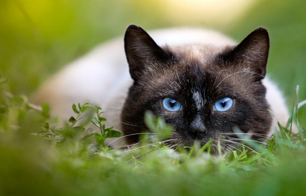 gato siames,gato siames gato siamés gatos siameses gatos siameses gato siames bebe siames gato gato thai gatos siames gato siames bebe siames tradicional siames tailandes los gatos siameses siameses gatos gatos siameses bebes