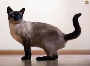 gato siames gato siamés gatos siameses gatos siameses gato siames bebe siames gato gato thai gatos siames gato siames bebe siames tradicional siames tailandes los gatos siameses siameses gatos gatos siameses bebes