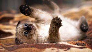historia del gato siames , siames red point caracteristicas , venda gatos siameses , foto gato angora , cuanto cuesta el gato siames , imagenes del gato siames , simese , gato siames tabby point caracteristicas , gato siames colombia , razas de gatos siameses caracteristicas