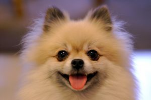 perros teacup pomeranian , donde puedo comprar un cachorro pomerania , pomerania toy blanco en adopcion , pomerania toy marron , raza pomerania pelo corto , pomerania boo blanco , precio de los cachorros pomerania , pomerania spitz enano venta , mini lulu de pomerania , el pomerania , raza de perro pomerania fotos , raza de perro boo , caniche micro toy caracteristicas , pomerania pequeño precio , cachorros lulu de pomerania toy , pomerania miniatura cara de oso , quiero comprar un pomerania , vendo pomerania blanco , perros boo en venta , perro pomerania toy blanco , venta de lulu pomerania miniatura , pomerania blanco miniatura bebe , pomerania mini blanco precio , caniches toy en adopcion , regalo cachorros pomerania toy