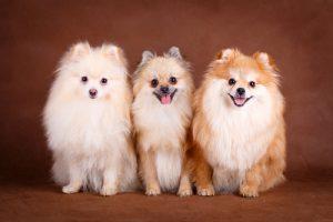 criadores de pomerania enanos , pomerania cachorro cuidados , perros pomerania cuidados , perros lulu pomerania venta , lulu de pomerania enano blanco , pomerania blanco enano precio , cuidados pomerania cachorro , cuantos cachorros puede tener un pomerania , boo pomerania toy