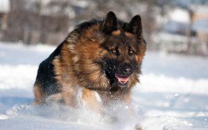 pastor alemán pelo largo en la nieve