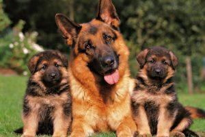 imágenes de pastor alemán cachorro