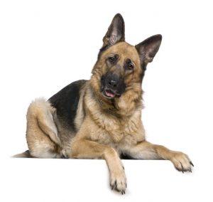 pastor alemán colores , pastor alemán , imágenes del perro pastor alemán