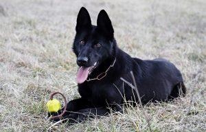 pastor aleman negro,nombres para perros hembras, nombres mexicanos para perros, nombres de perros bonitos, nombres de mascotas machos, nombres de perros originales, nombres para animales,