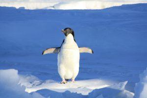 caracteristica pinguinos,pareja pinguinos,pinguinos,pinguino,pinguino emperador, los pinguinos, pingüinos,el pinguino,pingüino emperador, pinguinos,la marcha de los pinguinos, la vida de los pinguinos,caracteristicas del pinguino,