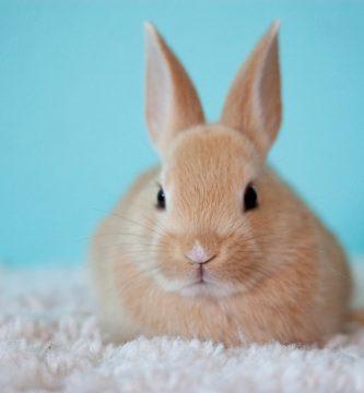 conejo, conejos, los conejos, cuidados de un conejo, cuanto vive un conejo domestico, cuantos años vive un conejo domestico, cuidados del conejo, cuidados para un conejo, cuidados de los conejos, descripcion del conejo,conejo mascota