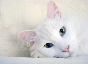 gata blanca,nombre de gatitas, nombres para gatitas bebes, nombres para gatas y su significado, nombres para gatas cortos, nombres para una gata,