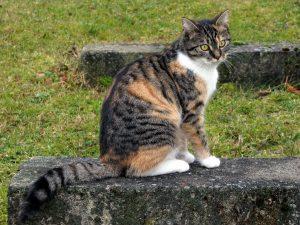 gata tricolor, nombres de gatas famosas, nombres para gatas negras, nombres para gaticas, nombre para gatas pequeñas, nombres para gatas blancas,