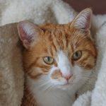 especies de gatos , toda la información sobre los gatos , cuales son las caracteristicas de los gatos