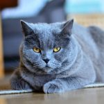 gatos persas badajoz , que caracteristicas tienen los gatos
