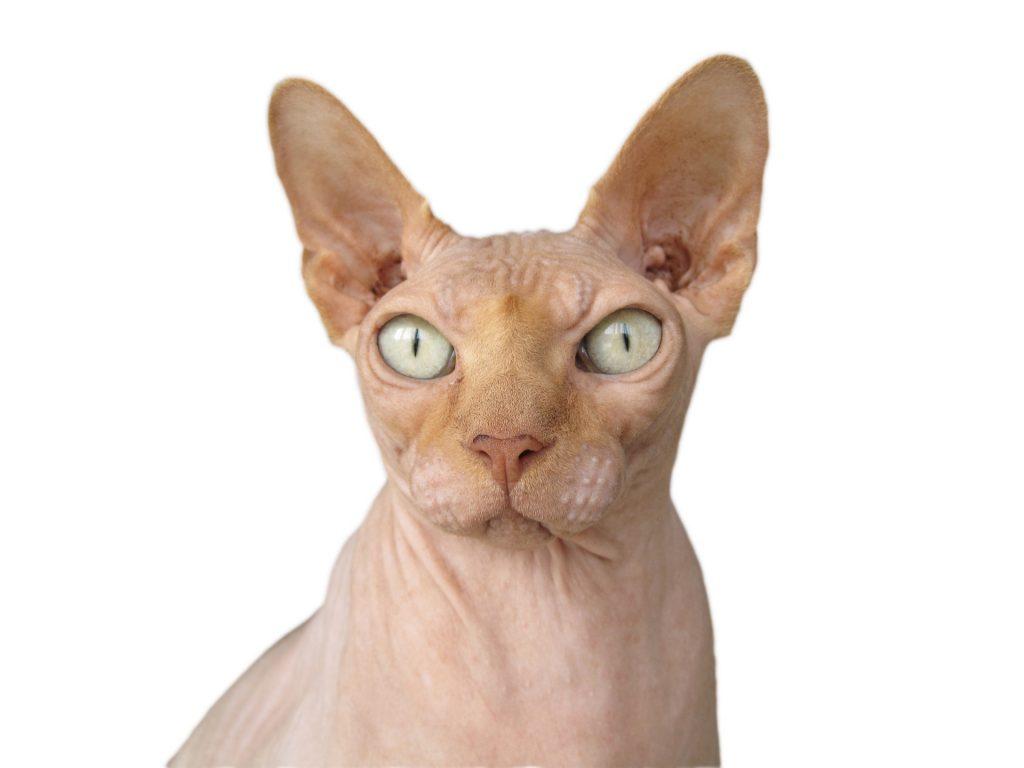 Resultado de imagen para gatos esfinge