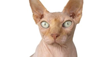 gato sphynx,gato sin pelo, raza de gatos,gatos feos,calvos feos,don sphynx,gatos calvos,el gato mas feo del mundo,gatos sin pelo precio,nombres egipcios para gatos