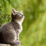 donde viven los gatos wikipedia , q son los gatos