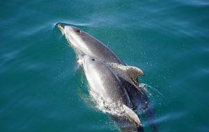 nacimiento delfin,delfin,delfines,los delfines,el delfin,caracteristicas del delfin,caracteristicas de los delfines,delfin caracteristicas,delfin rosado,como se reproducen los delfines,como nacen los delfines,