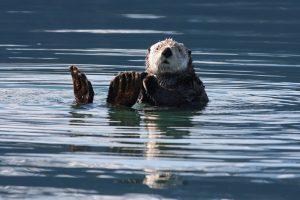 nutria marina,salmon chinook,animales marinos,imagenes de animales marinos,los animales marinos,animales del mar