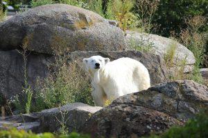 oso polar, cambio climatico, efecto invernadero
