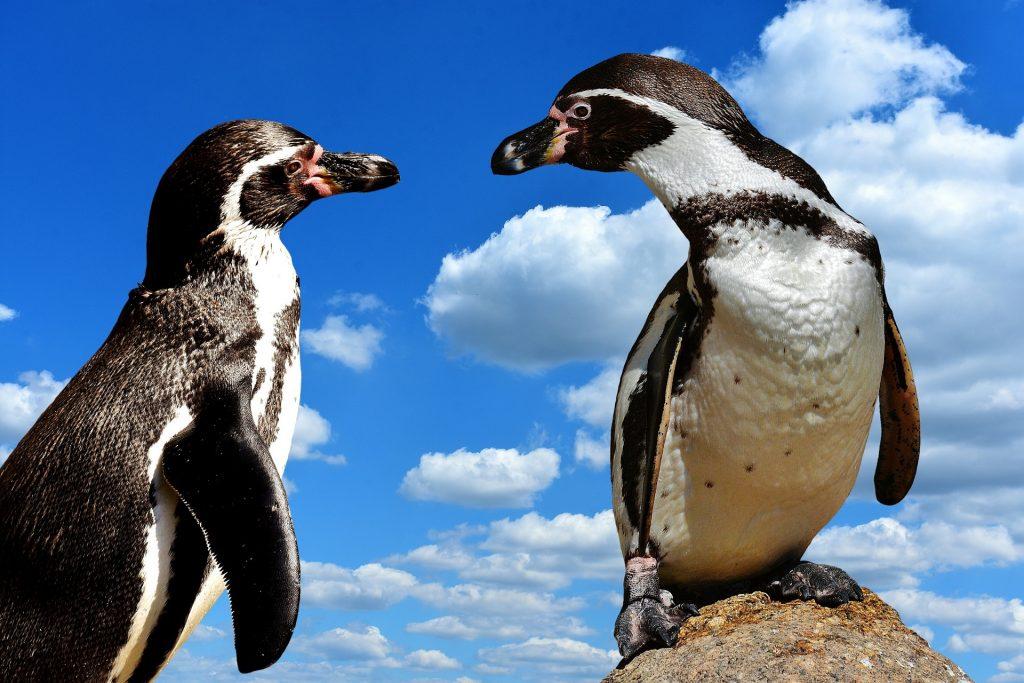 pareja pinguinos,pinguinos,pinguino,pinguino emperador, los pinguinos, pingüinos,el pinguino,pingüino emperador, pinguinos,la marcha de los pinguinos, la vida de los pinguinos,caracteristicas del pinguino