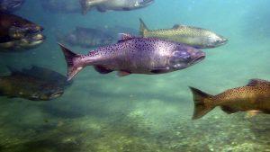 salmon chinook,animales marinos,imagenes de animales marinos,los animales marinos,animales del mar