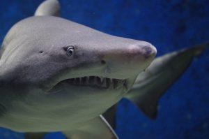 tiburon,animales marinos,imagenes de animales marinos,los animales marinos,animales del mar