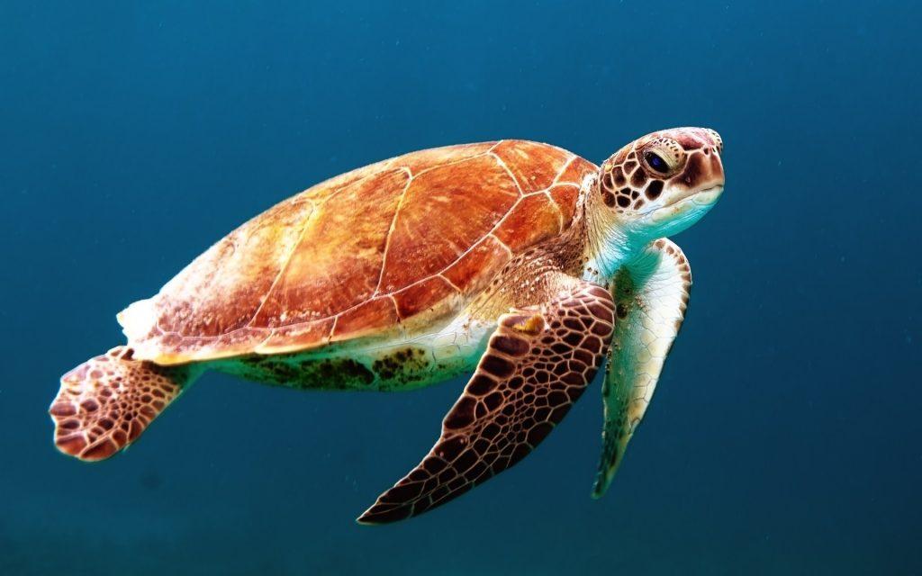 tortuga marina,animales marinos,imagenes de animales marinos,tortuga marina,los animales marinos,animales del mar