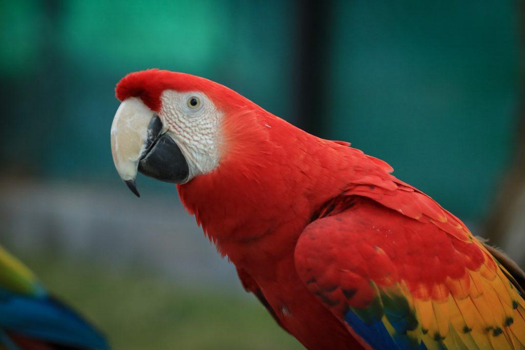 Guacamaya roja,especies de animales en peligro de extincion en mexico, especies animales en peligro de extincion en mexico, animales en peligro de extinción en mexico, especies de mexico en peligro de extincion,