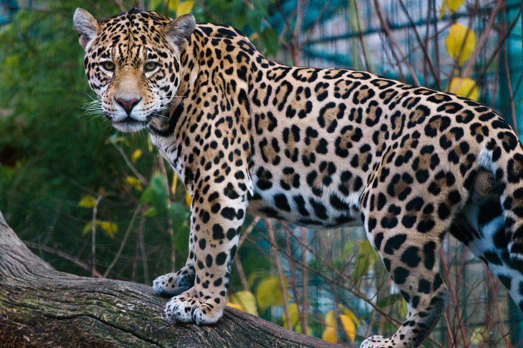 jaguar animal en peligro de extincion mexico,imagenes de animales extintos en mexico, animales en peligro de extinsion en mexico, imagenes de especies en peligro de extincion en mexico, animales mexicanos, lista de animales en peligro de extincion en mexico, animales en peligro de extincion de mexico con su nombre, especies en peligro de extincion en mexico y sus causas, los animales en peligro de extincion