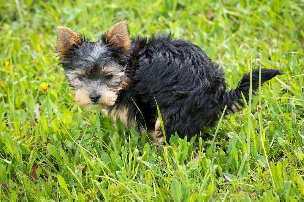remedios caseros para el parvovirus en perros , porque les da parvovirus a los perros