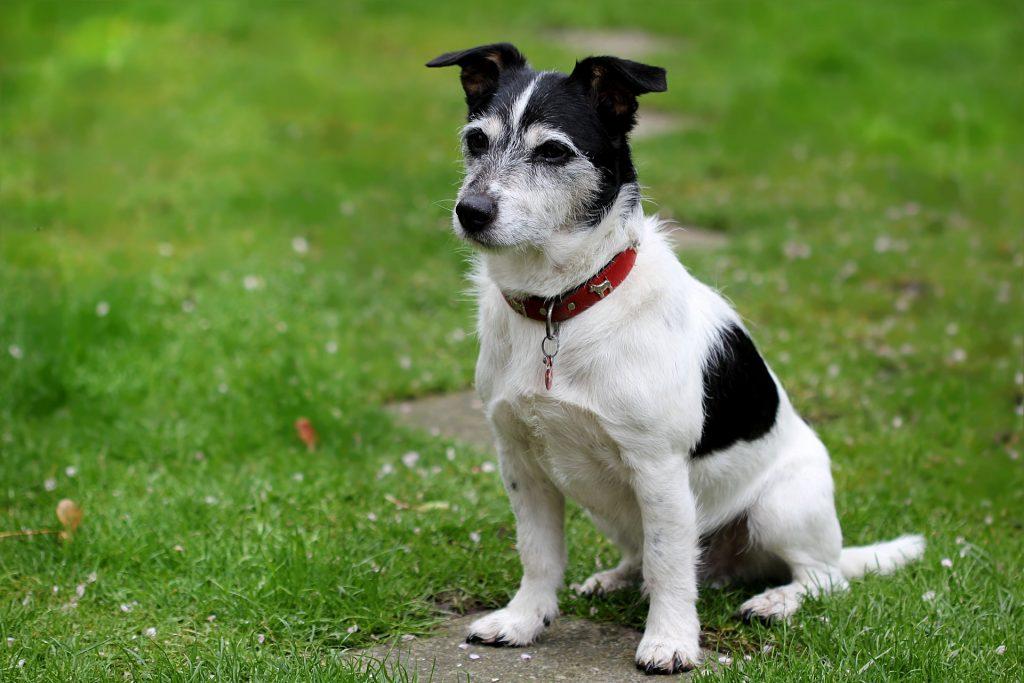 Jack Russell Terrier perros pequeños